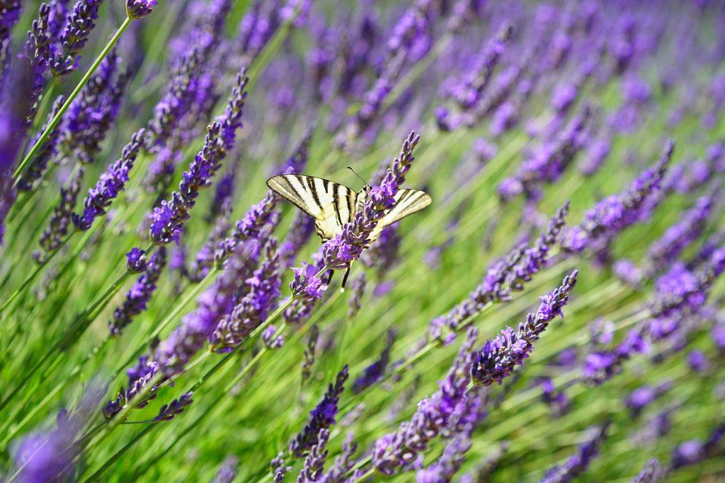 Walnut Hills Lavender Farm